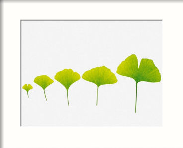 4648211ginkgo-leaves-arranged-in-size-order-affiches